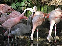 Flamingo's in Jersey Zoo